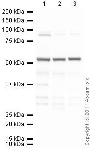 Western blot - Tubulin antibody [YL1/2] - Loading Control (ab6160)