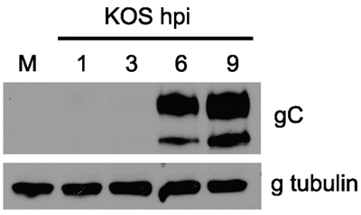 Western blot - Anti-HSV1 gC Envelope Protein antibody [3G9] (ab6509)