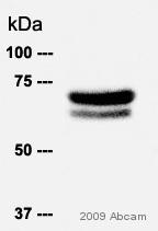 Western blot - Hsp70 antibody [BRM-22] (ab6535)