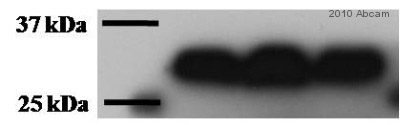 Western blot - Cdk2 antibody (ab6538)