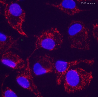 Immunocytochemistry/ Immunofluorescence - Goat polyclonal Secondary Antibody to Rat IgG - H&L (Cy5 ®), pre-adsorbed (ab6565)