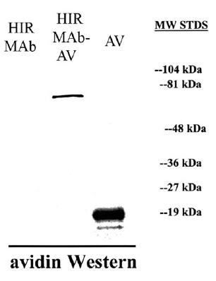 Western blot - Anti-Avidin antibody (ab6675)