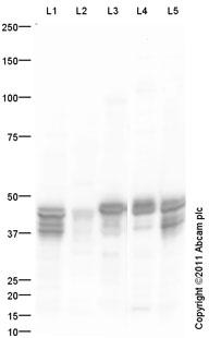 Western blot - NDRG2 antibody (ab60097)