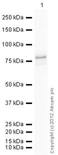 Western blot - Anti-MNK1 antibody (ab60204)