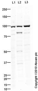 Western blot - SAP97 antibody (ab60551)