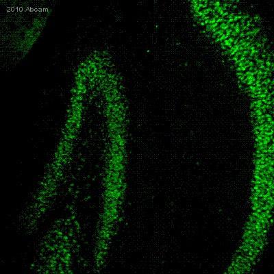 Immunohistochemistry (Frozen sections) - NeuroD1 antibody (ab60704)
