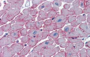 Immunohistochemistry (Formalin/PFA-fixed paraffin-embedded sections)-Anti-DCST1 antibody(ab61308)