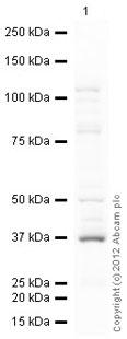 Western blot - Anti-Serine racemase antibody [402CT2.1.2] (ab61335)