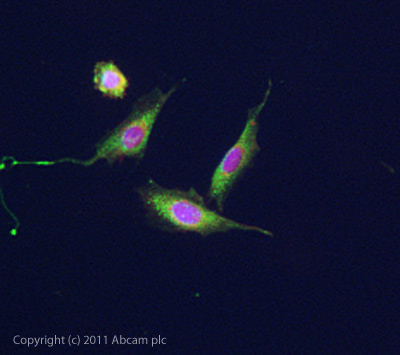 Immunocytochemistry/ Immunofluorescence - Anti-5HT7 Receptor antibody (ab61562)