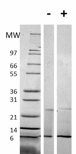 Other - RELM alpha protein (Tagged) (ab61877)