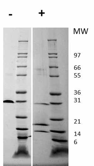 Other-PDGFAA + PDGFBB protein (Active)(ab61903)