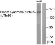 Western blot - Blooms Syndrome Protein Blm (phospho T99) antibody (ab62206)