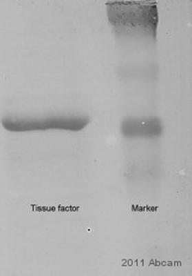 Western blot - Tissue Factor (phospho S290) antibody (ab62251)