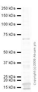 Western blot - CRMP2 antibody [1B1] (ab62539)