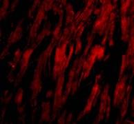 Immunocytochemistry/ Immunofluorescence-Anti-BAP29 antibody(ab62571)