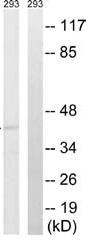 Western blot - Anti-Fas antibody (ab62691)