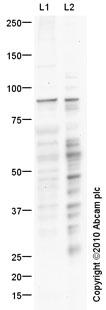 Western blot - TRPC6 antibody (ab63038)