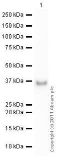 Western blot - IGFBP2 protein (Active) (ab63223)