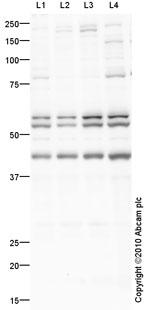 Western blot - ETS1 antibody (ab63302)