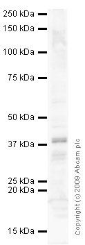 Western blot - IL13 receptor alpha 1 (phospho Y405) antibody (ab63407)