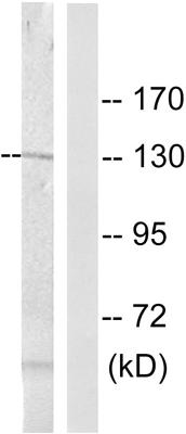 Western blot - Telomerase (phospho S824) antibody (ab63558)