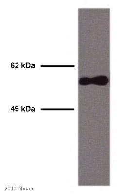 Western blot - Smad2 antibody (ab63576)