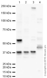 Western blot - TATA binding protein TBP antibody (ab63766)