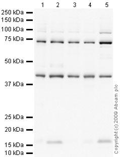 Western blot - CCR8 antibody (ab63772)