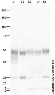 Western blot - Anti-LRG1 antibody (ab63836)