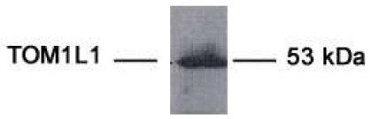 Western blot - TOM1L1 antibody [10C2] (ab63988)