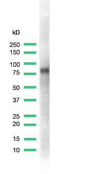 Western blot - CD44 antibody [SPM521] (ab64093)