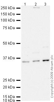 Western blot - MyoD1 antibody (ab64159)
