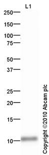 Western blot - PF4 antibody (ab64280)