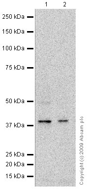 Western blot - Tin2 antibody (ab64386)