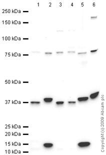 Western blot - Follistatin antibody (ab64490)