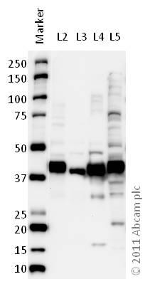 Western blot - Anti-Glutamine Synthetase antibody (ab64613)