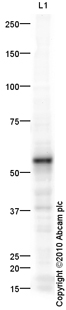 Western blot - Perforin antibody (ab64615)