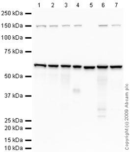 Western blot - CD147 antibody (ab64616)