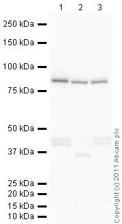 Western blot - Frizzled 7 antibody (ab64636)