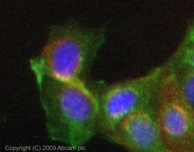 Immunocytochemistry/ Immunofluorescence - Frizzled 7 antibody (ab64636)