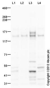 Western blot - Anti-PARD3 antibody (ab64646)