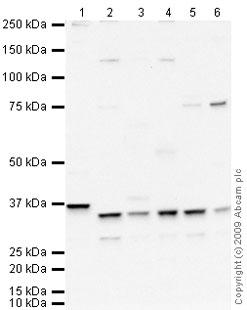 Western blot - Cdk2 antibody (ab64669)
