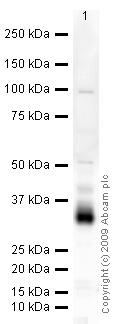 Western blot - CD74 antibody (ab64772)