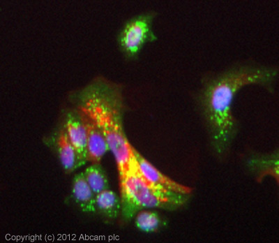 Immunocytochemistry/ Immunofluorescence - Anti-PDZK1 antibody (ab64856)