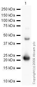 Western blot - FGF21 antibody (ab64857)