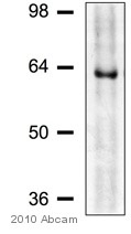 Western blot - CLK2 antibody (ab65082)