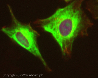 Immunocytochemistry/ Immunofluorescence - ACK1 antibody (ab65108)