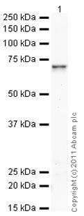 Western blot - Anti-Smad4 antibody (ab65217)