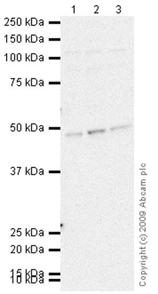 Western blot - Tau antibody (ab65284)