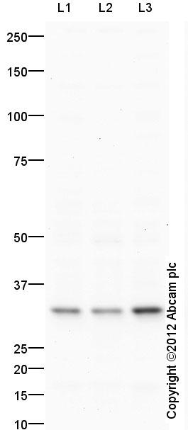 Western blot - Anti-BAFF antibody (ab65360)